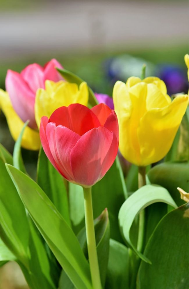 How To Grow And Care For Tulip Flowers Rhythm Of The Home